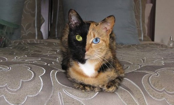 Two Face Katze